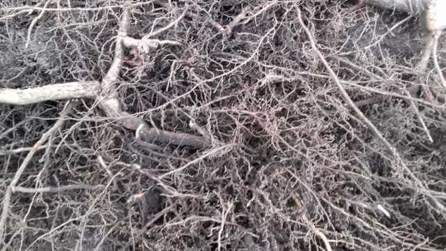 Boomwortels vrij zuigen